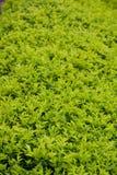 Предпосылка листьев dewdrop золота стоковые изображения