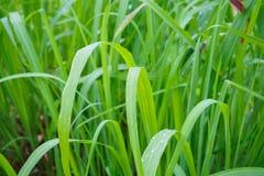 Предпосылка лист зеленого цвета завода травы лимона Стоковые Фото