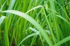 Предпосылка лист зеленого цвета завода травы лимона Стоковая Фотография RF