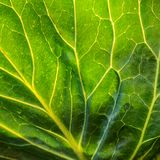Предпосылка лист капусты Зеленая текстура макроса лист Стоковая Фотография RF