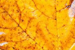 Предпосылка лист кленового листа Стоковые Изображения RF