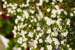 Предпосылка маленьких белых цветков в саде стоковая фотография