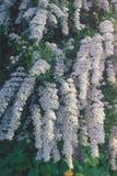 Предпосылка маленького куста белых цветков зацветая Весна Стоковое Фото