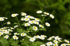 Предпосылка маленького куста белых цветков зацветая Стоковые Изображения