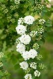 Предпосылка маленького куста белых цветков зацветая Стоковое Фото