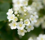 Предпосылка маленького куста белых цветков зацветая Стоковая Фотография RF