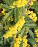 Предпосылка мимозы цветет символ международного дня wome стоковая фотография