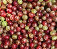 Предпосылка много очень вкусное зрелое сочное сладостное berrie крыжовника стоковое фото rf