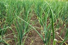 Предпосылка молодого зеленого лука : стоковая фотография rf