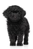 предпосылка над белизной игрушки щенка пуделя Стоковые Фотографии RF