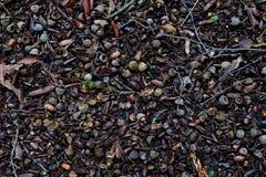 Предпосылка на которой в лесе вся земля покрыта с небольшими жолудями стоковые изображения rf