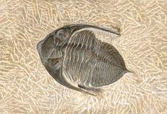 Предпосылка, окаменелый организм моря стоковые фотографии rf