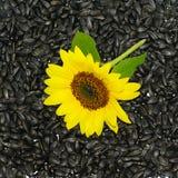 предпосылка осеменяет солнцецвет Стоковые Изображения