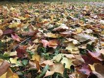 Предпосылка осени естественная плоская красочного красного и желтого клена стоковое фото