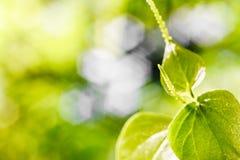 Предпосылка отмелый DoF природы зеленая с космосом экземпляра, малым gre Стоковое Изображение