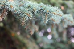 Предпосылка от зеленой ветви ели Пушистая молодая ель ветви с дождевыми каплями Стоковое Изображение