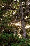 Предпосылка от зеленой ветви ели Стоковые Фото