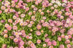 Предпосылка от красивых розовых маргариток Стоковое Изображение RF