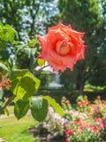 предпосылка падает цветок изолированный над белизной розовой воды Стоковое Изображение RF