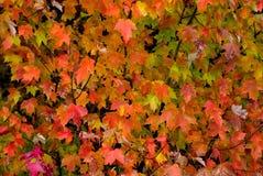 Предпосылка падения кленовых листов бриллиантового оранжевого стоковое изображение rf