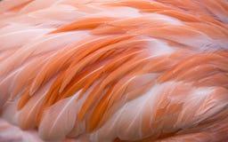 Предпосылка пера фламинго Стоковые Фотографии RF