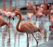 Предпосылка пера фламинго Стоковые Изображения RF