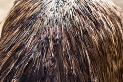 Предпосылка пер страуса Стоковые Изображения RF