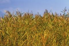 Предпосылка поля тростников стоковые фотографии rf
