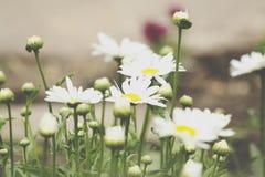 Предпосылка поля цветков стоцвета широкая в свете солнца беспечальное лето маргариток принципиальной схемы теплое Красивая сцена  Стоковые Фото