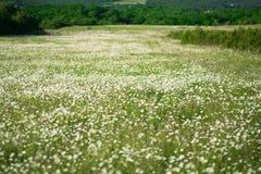 Предпосылка поля цветков стоцвета широкая в свете солнца беспечальное лето маргариток принципиальной схемы теплое Красивая сцена  Стоковое Изображение RF