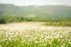 Предпосылка поля цветков стоцвета широкая в свете солнца беспечальное лето маргариток принципиальной схемы теплое Красивая сцена  Стоковое Изображение