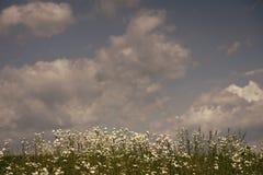 Предпосылка поля цветков стоцвета широкая в свете солнца Стоковые Изображения