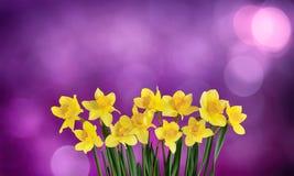 Предпосылка праздника флористическая с желтыми цветками daffodils Стоковые Изображения