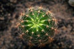 Предпосылка природы зеленые, конец-вверх кактуса или кактусы или кактусы, взгляд сверху стоковое фото rf