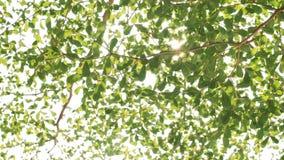 Предпосылка природы Красивый блеск Солнца через дуть на листьях зеленого цвета дерева ветра сток-видео