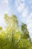 Предпосылка природы куста дерева с голубым небом лета в солнечном свете Стоковое Изображение