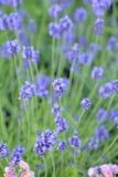 Предпосылка природы свежих голубых полей цветка лаванды Стоковое Фото