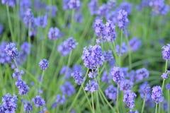 Предпосылка природы свежих голубых полей цветка лаванды Стоковая Фотография