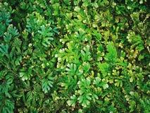 Предпосылка природы свежих зеленых заводов папоротника Стоковое Фото