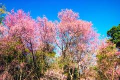 Предпосылка природы сцены деревьев вишневого цвета красивого вида Стоковая Фотография RF