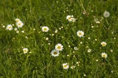 Предпосылка природы с цвести цветками маргаритки закрывает вверх в солнечном дне стоковое изображение rf