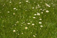 Предпосылка природы с цвести цветками маргаритки закрывает вверх в солнечном дне стоковое фото rf
