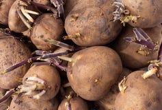 Предпосылка пускать ростии картошки семени золота Юкон Стоковое фото RF