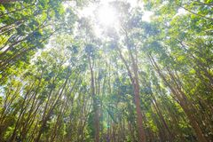 Предпосылка резинового дерева в глубоком лесе стоковое изображение rf