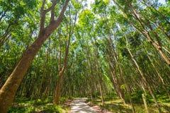 Предпосылка резинового дерева в глубоком лесе стоковая фотография rf