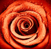 Предпосылка розы красного цвета Стоковая Фотография RF