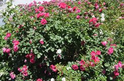 Предпосылка роз в квадрате Натана Phillips Торонто в провинции Канаде Онтарио Стоковые Изображения