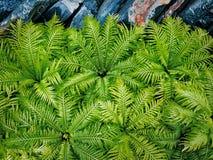 Предпосылка свежих зеленых заводов и утесов папоротника Стоковые Фотографии RF