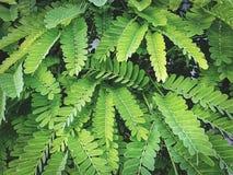 Предпосылка свежих зеленых листьев тамаринда Стоковое фото RF