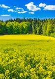 Предпосылка сельского хозяйства земледелия, золотая освещенная земля рапса канола с голубым солнечным небом и лес стоковое изображение